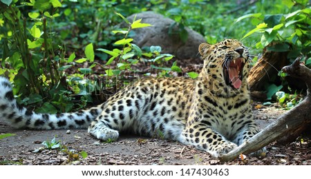 Amur leopard yawning  - stock photo