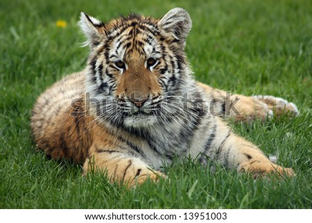 Amur or Siberian Tiger cub laying in the grass. - stock photo