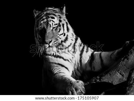 Amur Tiger - stock photo