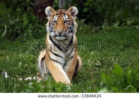 Amur Tiger Cub staring at the viewer. - stock photo