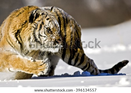 Amur tiger is turning back with entire body for hunting.He is preparing for hunting.His entire body can seen clearly.Amur tigerâ??s one of the paw is lifted for walking. Snow is dispersing with his paw. - stock photo