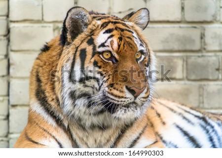 Amur tiger looking into the distance closeup - stock photo
