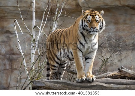 Amur Tiger, Panthera tigris altaica, closely monitors nearby - stock photo