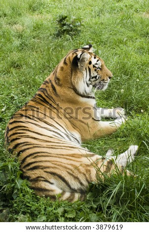 Amur Tiger (Panthera tigris altaica) - portrait orientation - stock photo