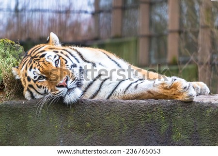 Amur tiger resting on the ledge - stock photo
