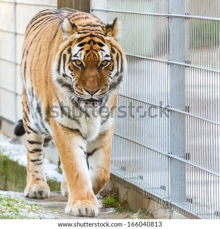 Amur tiger walking beside the fence - stock photo