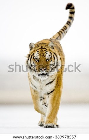Amur tiger walking proudly on the white snow with catwalk style. Looking towards camera directly.Background is white snow. stripes and shade of orange in color.Also known Siberian tiger. - stock photo