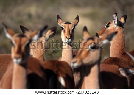 An abstract image of a herd of impala, with the focus on a female impala from the herd. - stock photo