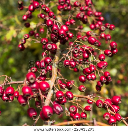 An abundant display of hawthorn berries in an Autumn hedgerow - stock photo