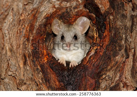 An Acacia tree rat (Thallomys paedulcus) sitting in a hole in a tree, South Africa  - stock photo