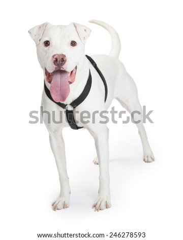 An active white color Dojo Argentino breed wearing a black harness looking excited for a walk - stock photo