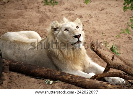 An adolescent male lion relaxes next to a fallen branch in a game park. - stock photo