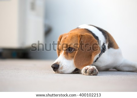 An Adorable Beagle Dog's laying down on the ground at the backyard. - stock photo