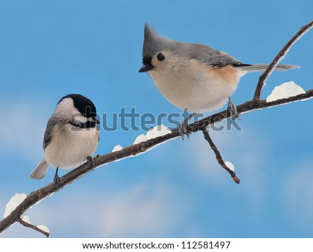 An adorable Black- capped Chickadee (Poecile atricapillus) and Tufted Titmouse (Baeolophus bicolor) on a snowy winter branch. - stock photo