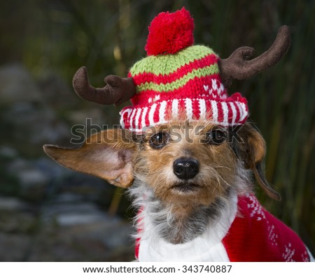 An adorable head shot of a small Mixed Breed Dog wearing a reindeer hat. Dog is looking directly into the camera. - stock photo