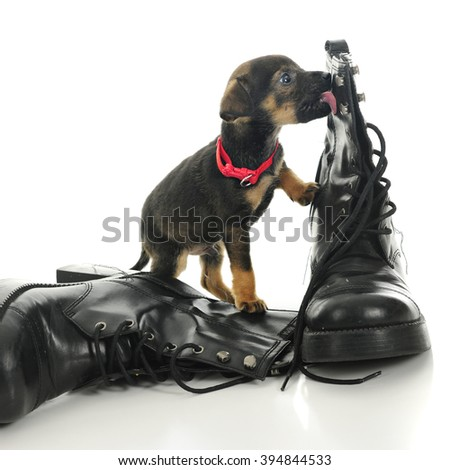 An adorable puppy licking his master's boot.  On a white background. - stock photo