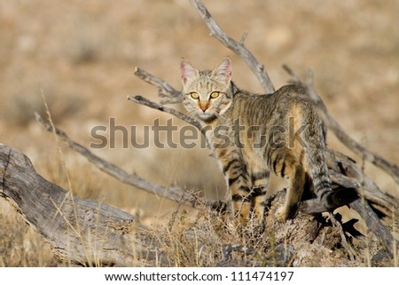 An adult African wild cat hunting in the Kgalagadi Transfrontier Park - stock photo