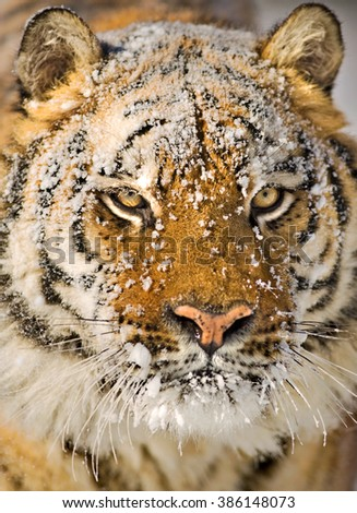 An adult amur tiger portrait with snowflakes on his face.close-up frame.He has a strong look.He's looking across.Amur tiger have stripes and are a shade of orange in color.Also known as Siberian tiger - stock photo