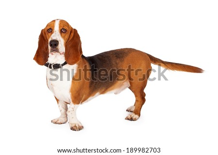 An adult Basset Hound purebred dog standing against a white background - stock photo