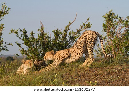 An adult cheetah male stretching next to its brother on a hill top - stock photo