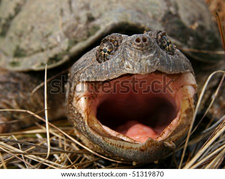An Adult Female Common Snapping Turtle - stock photo