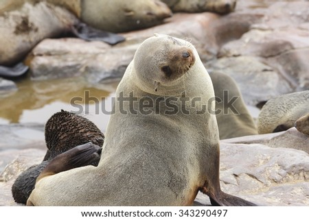 An adult female south African fur seal sits on a rocky shoreline alongside her baby - stock photo