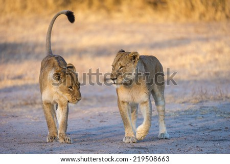 An adult Lioness and her sub adult cub walking in the first golden light of morning. - stock photo