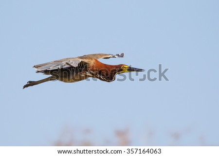 An adult Rufescent tiger Heron (Tigrisoma lineatum) in flight against a clear pale blue sky, the Pantanal, Brazil - stock photo