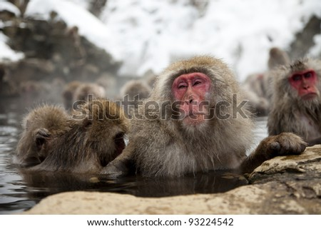 an adult snow monkey or japanese macaque being groomed by a yonger monkey on the onsen, jigokudani,japan - stock photo