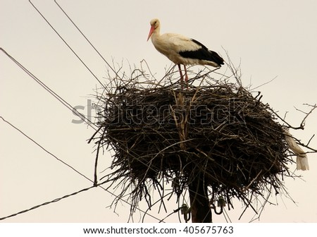 An adult white stork in a nest, spring, natural wildlife, harmony of nature - stock photo