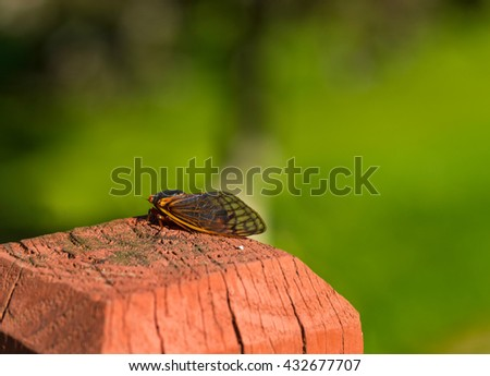 An adult 17-year cicada rests on a fence post a short while after emerging from the ground and molting - stock photo