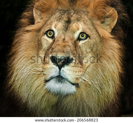 An Africa lion portrait on a black background head only  - stock photo