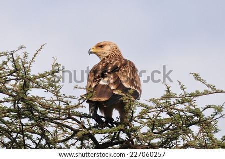 An African eagle looking for a hunt. - stock photo