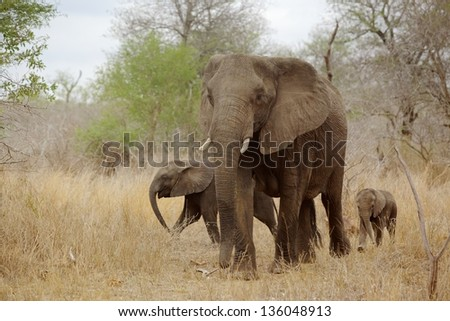 An African elephant (Loxodonta africana) cow with two young calves in the Kruger National Park, South Africa. - stock photo