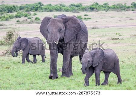 An African Elephant (loxodonta) walking with two baby elephants in Amboseli National Park, Kenya, East Africa.  - stock photo