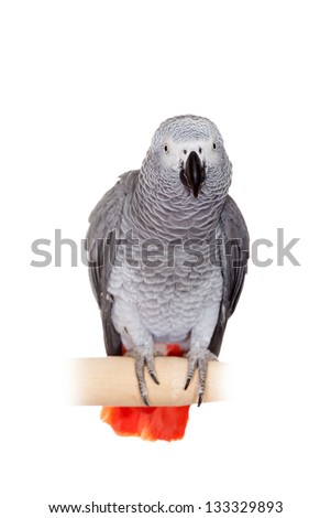 An African Grey Parrot (Psittacus erithacus) isolated on a white background - stock photo