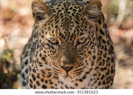 An african leopard (Panthera pardus pardus) approaching and staring directly at the camera, South Luangwa National Park, Zambia, Africa - stock photo