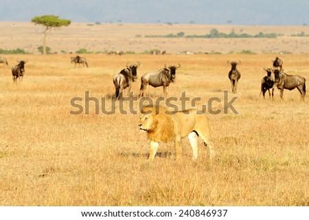 An African Lion (Panthera leo) on the Masai Mara National Reserve safari in southwestern Kenya. - stock photo