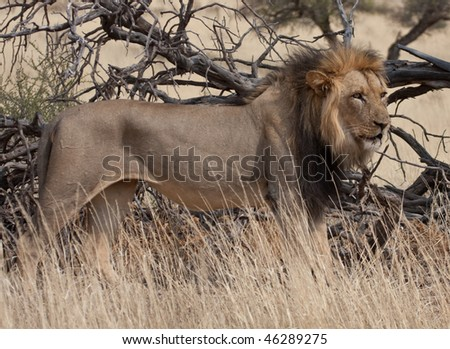 An African Lion (Panthera Leo) stands proud in the wild. - stock photo