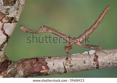 An african twig mantis is trying to look like a branch. - stock photo