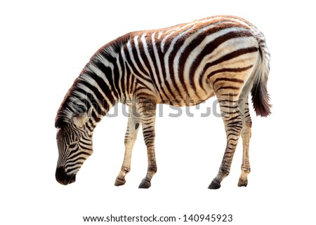 an african zebra isolated in a white background - stock photo