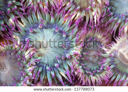 An aggregate of green and purple sea anemones with their tentacles open show that they are feeding. Shot in the Channel Islands of California. - stock photo