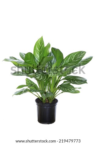 An Agleonema Stripe Interior Potted Plant Isolated on White - stock photo
