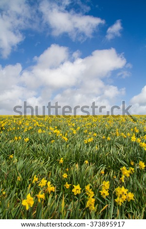 An agricultural daffodil field under a blue sky with white clouds. Portrait orientation. - stock photo