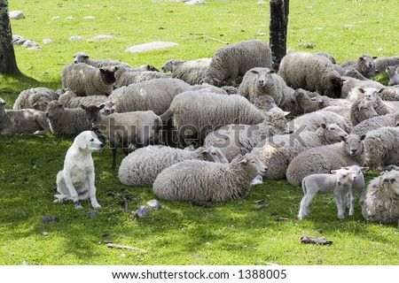an akbash sheep dog protecting the herd - stock photo