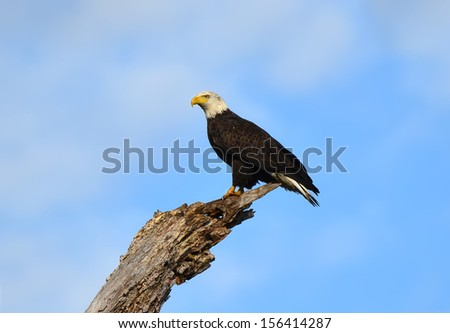 An Alaskan Bald Eagle perched on a dead tree limb - stock photo