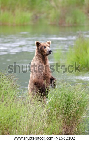 An Alaskan brown bear standing on its hind legs fishing for salmon in Katmai National Park - stock photo