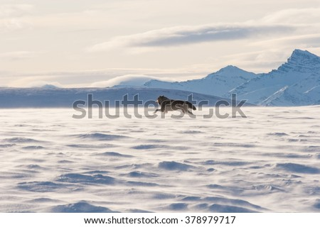 An Alaskan tundra wolf leaps through the blowing snow near the Arctic National Wildlife Refuge, as the Brooks Range looms in the background - stock photo