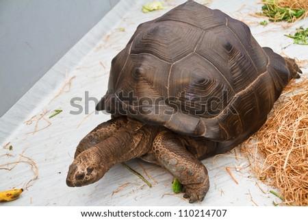 An Aldabra giant tortoise - stock photo