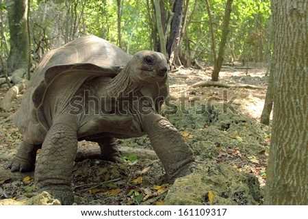 An Aldabra giant tortoise (Aldabrachelys gigantea) moving in the forest, Zanzibar Island, Tanzania - stock photo